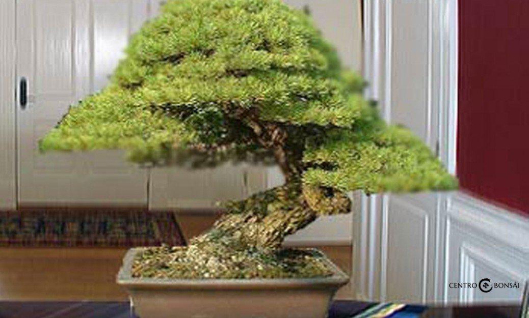 bonsais de interior tienda online bonsais de interior