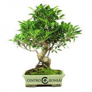 Bonsái de 16 años Ficus retusa