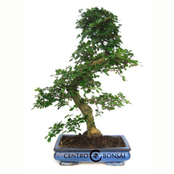 Bonsái de 20 años Carmona microphylla
