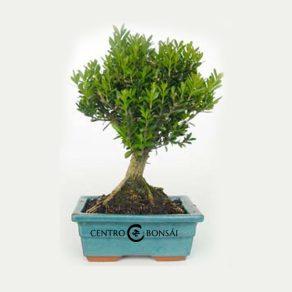 Bonsái de 5 años Buxus harlandii