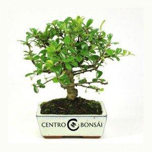 Bonsái 5 años Carmona microphylla