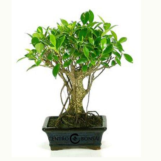 Bonsái 5 años Ficus retusa