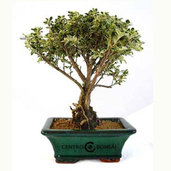 Bonsái de 5 años Serissa phoetida variegata