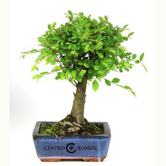 Bonsái de 5 años Zelkova parvifolia