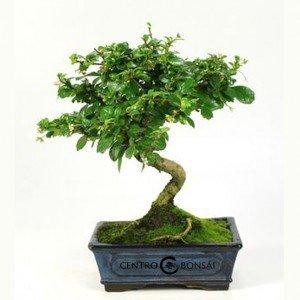 Bonsái de 7 años Carmona microphylla