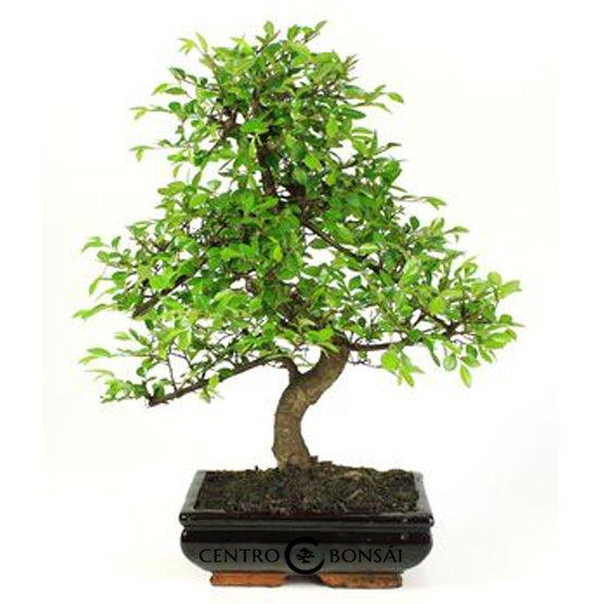 Bonsái 8 años Zelkova parvifolia