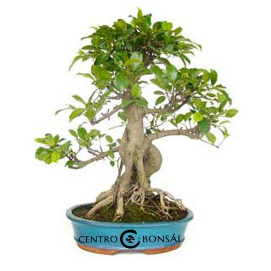 Bonsái 18 años Ficus retusa