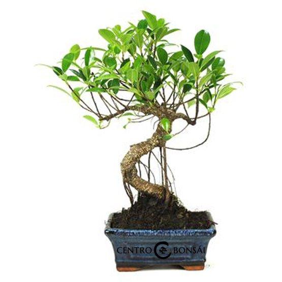 Bonsái de 6 años Ficus Retusa