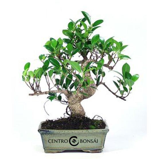 Bonsái de 8 años Ficus Retusa