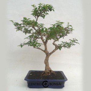 Bonsai 13 años Ligustrum sp.