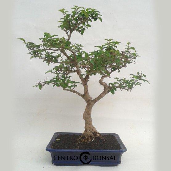 Bonsai 13 años Ligustrum sp.