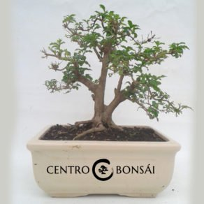 Bonsai 14 años Ligustrum sp.