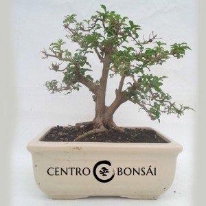 Bonsai 14 años Ligustrum sp.