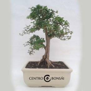 Bonsai 16 años Ligustrum sp.
