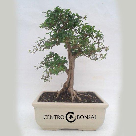Bonsai 16 años Ligustrum sp.