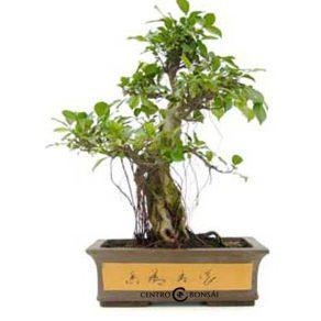 Bonsái 23 años Ficus Retusa