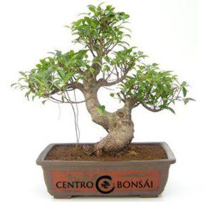 Bonsái 24 años Ficus retusa