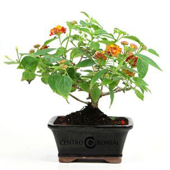 Bonsai 7 años Lanthana camara