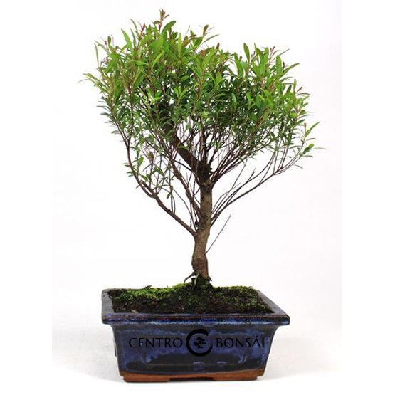 Bonsai de 5 años Syzigium buxifolium