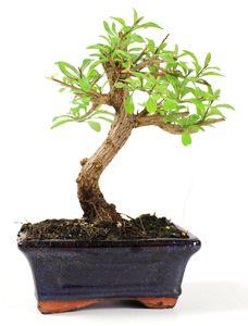 Bonsai 6 años Solanum rantonnetii
