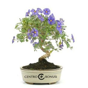 Bonsai 7 años Solanum rantonnetii