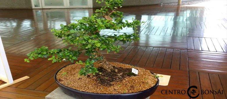 bonsai 5 años