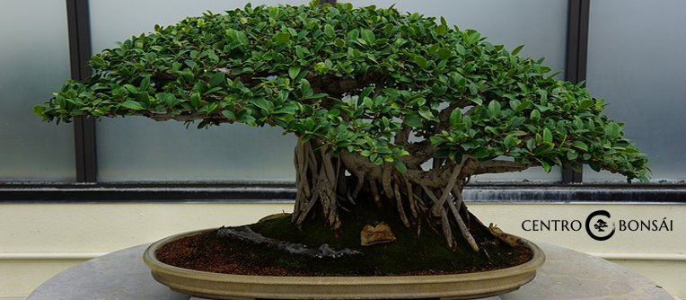 Bonsai olivo precio centro bonsai online for Olivo bonsai prezzo