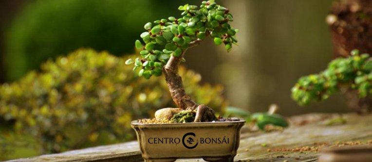 comprar mini bonsai