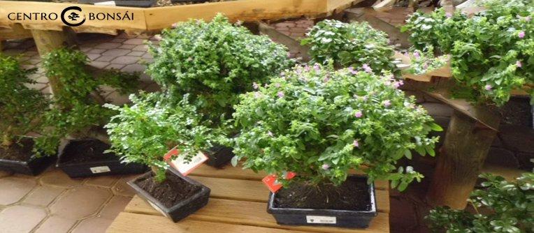 precio de bonsai original