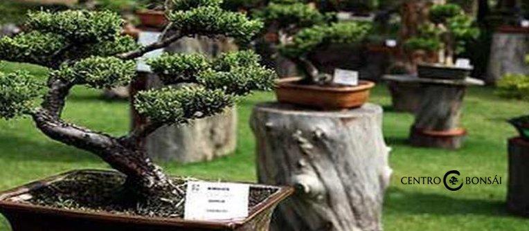 precio de un bonsai original