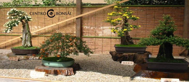 precio del bonsai