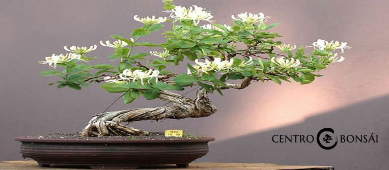 Precios bonsais de interior centro bonsai online for Bonsais de interior