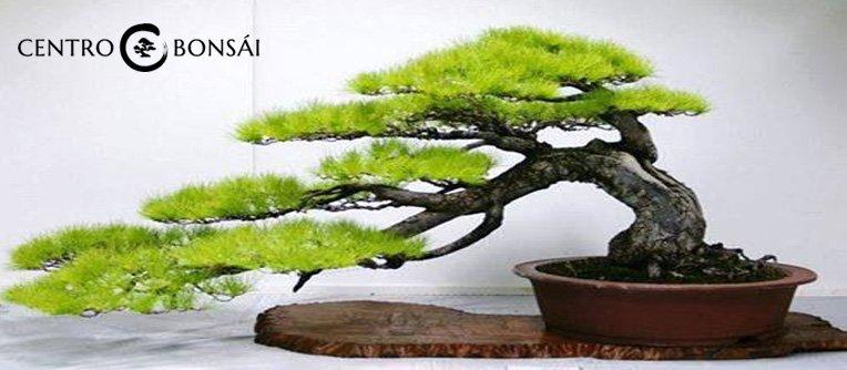 Arbol Bonsai Original Precio