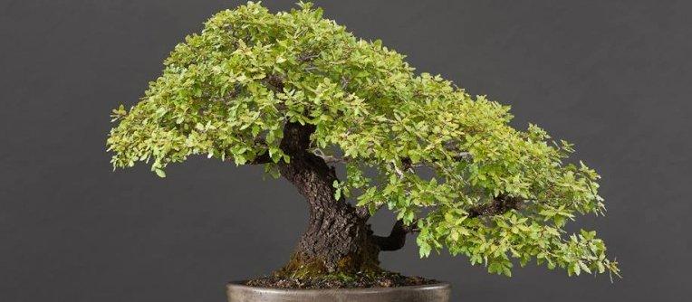 Bons i encina comprar el mejor bons i quercus centro for Comprare bonsai online