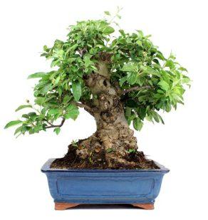 Bonsai 32 años Malus sp Zp