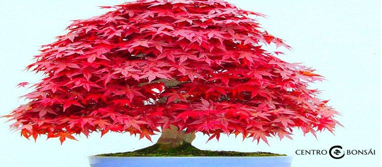 Bonsai arce japones precio centro bonsai online - Arce japones cuidados ...