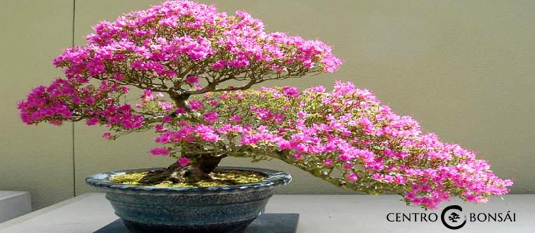 Bonsai Arce
