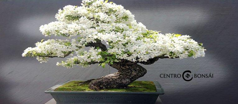 Bonsai Autentico