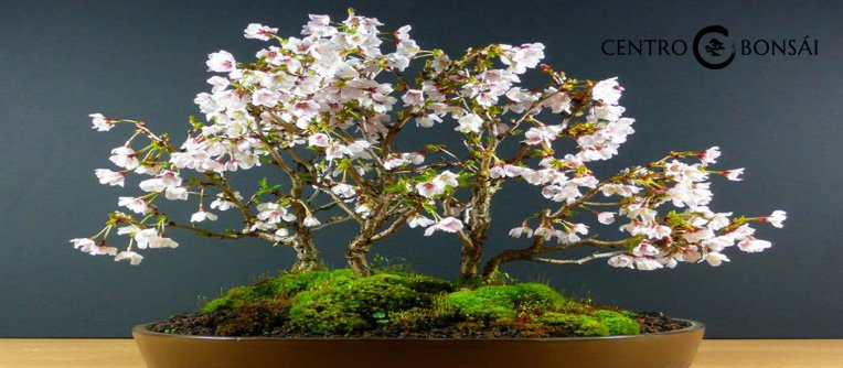 Bonsai Cerezo Comprar