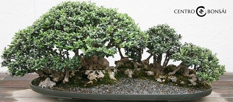 Bonsai de olivo centro bonsai online for Olivo bonsai prezzo