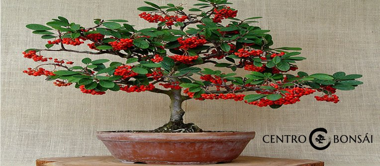 Bonsai frutales centro bonsai online for Como cultivar bonsais
