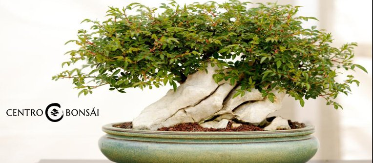 Bonsai Interior comprar