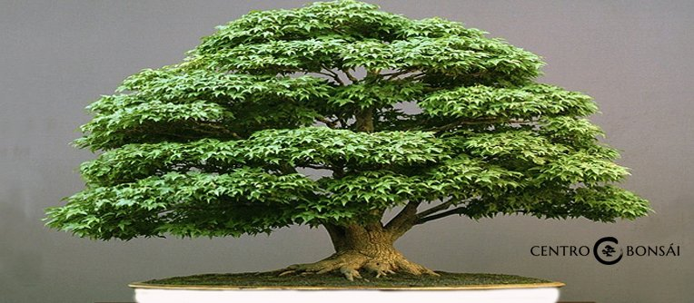 Comprar Bonsai Acer Palmatum