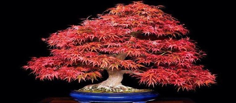 Comprar Bonsai Arce Rojo