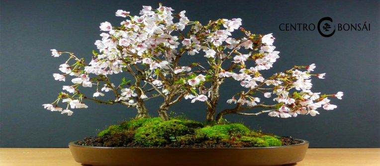Comprar Bonsai Cerezo Japones