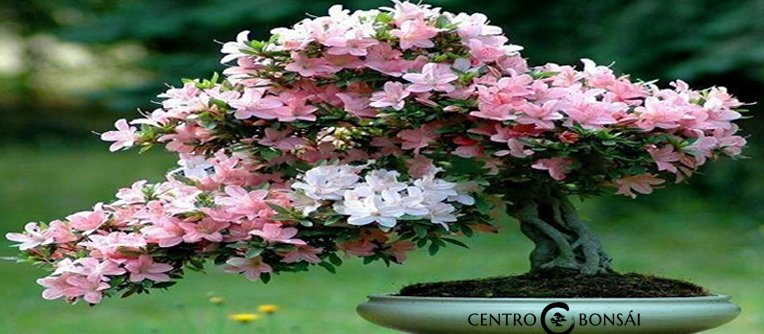 Comprar Bonsai Cerezo