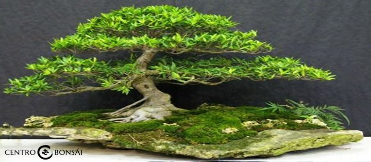 Comprar Bonsai Ficus Grande
