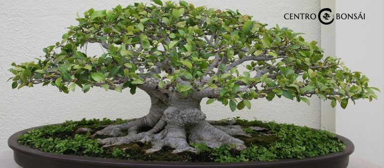 Comprar Bonsai Ficus Retusa