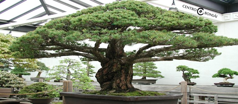 Comprar bonsai grande centro bonsai online for Comprare bonsai online
