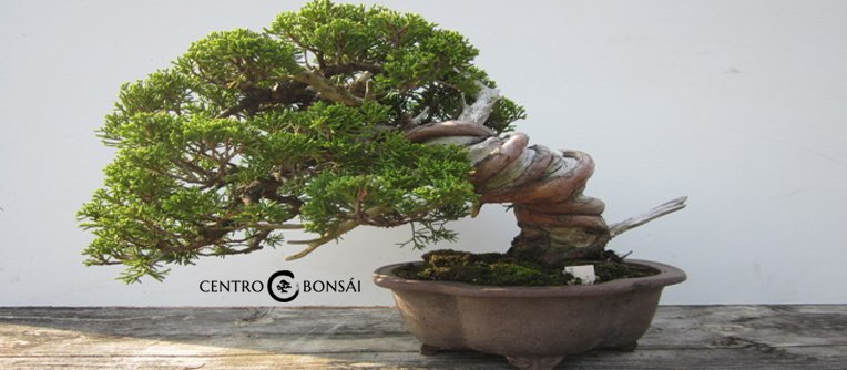 Comprar Bonsai Juniperus